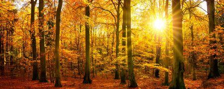 Goldene Herbstlandschaft im Panoramaformat: ein Wald in leuchtenden warmen Farben und die Sonne scheint durch die Bäume