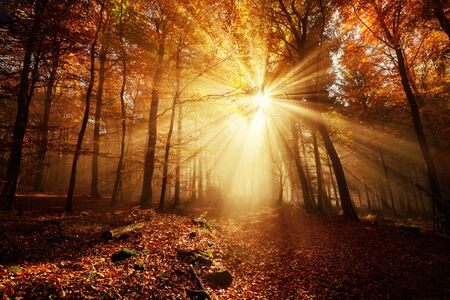 Dramatic scenery in a forest on a misty autumn day, with silhouettes of trees and the rays of sunlight warming the color of the fog Stock fotó