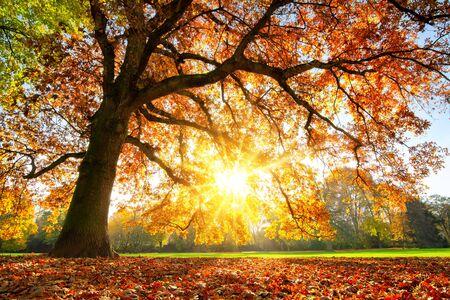 Mooie eik op een grasveld met de ondergaande herfstzon die warm door de bladeren schijnt