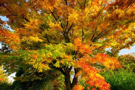 Colorful branches of a deciduous tree in autumn, with red, yellow and green foliage