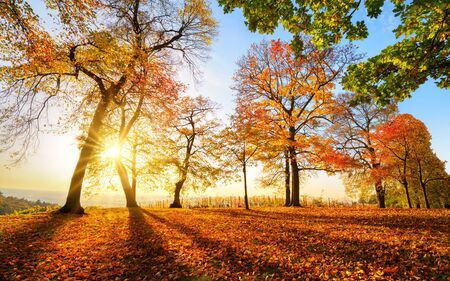 Autumn scenery before sunset in a park, with blue sky, the sun and lots of red foliage Stock fotó