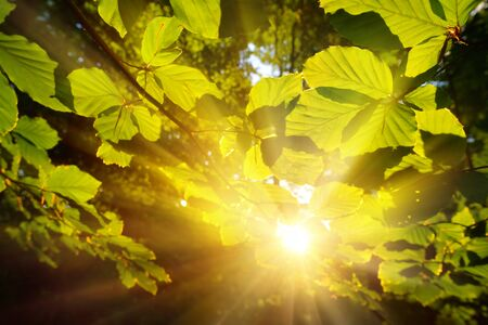 Green leaves closeup, framing the forest background and the sun casting its warm gold rays through the foliage