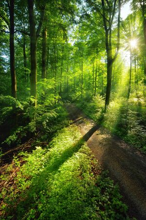Sun rays create a vibrant green scenery of light and shadows on a forest path