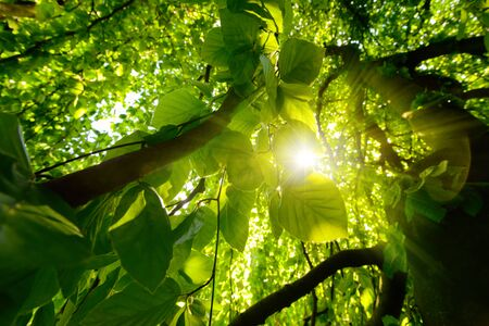 Worms eye view of beautiful trees and branches with vibrant green foliage and the sun shining through them