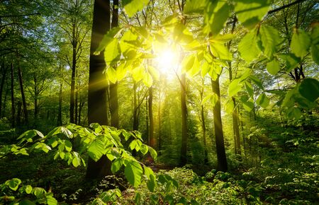 Beautiful green forest scenery: the sun and green branches framing the trees in the background