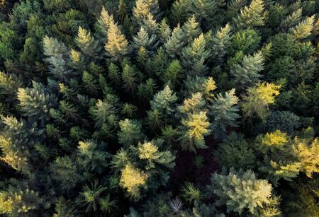 Aerial downward view of an evergreen forest with the sunlight falling on some of the treetops