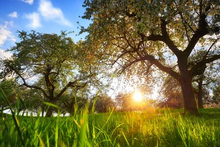 Setting sun framed by two trees on a green meadow with blades of grass in the foreground and blue sky Archivio Fotografico