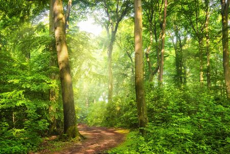 Green forest with wafts of mist and the warm sunlight falling through them unto a curved path Archivio Fotografico