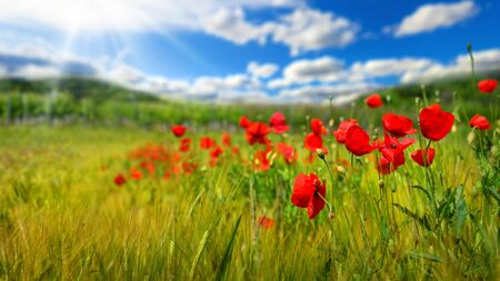 Poppy flowers on a green field or grassland, with deep blue sky, white clouds and rays of sunlight in the background Archivio Fotografico