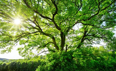 The sun brightly shines through the crooked branches of a majestic green tree Archivio Fotografico
