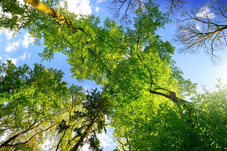 Green trees growing tall towards the blue summer sky, worms eye view Archivio Fotografico