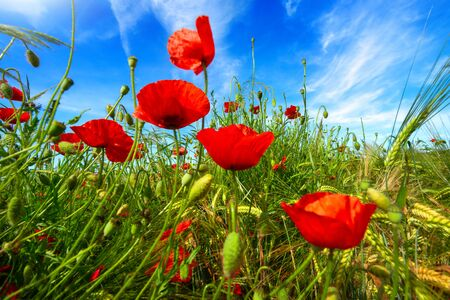 Closeup of vibrant poppy flowers on a wild field growing towards the deep blue sky Archivio Fotografico