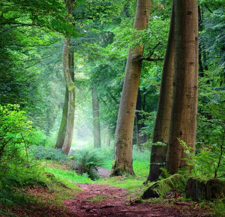Tranquil scenery in a green forest, landscape shot with soft cool light falling through the mist, with a path leading through the trees