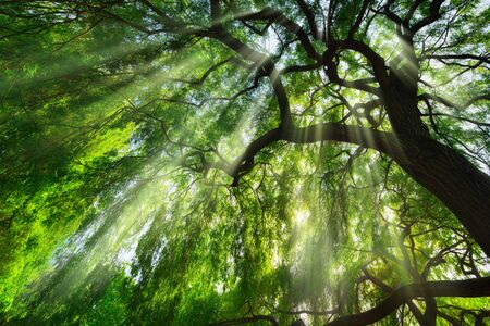 Rays of light falling through a majestic green tree and wafts of mist, a beautiful worms eye view perspective Archivio Fotografico