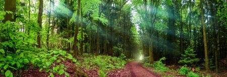 Panoramic forest landscape shot, with a path and rays of soft light falling through wafts of mist, framed by lush green foliage