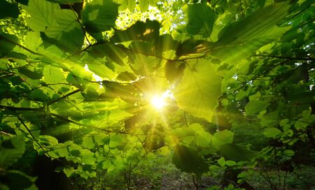 The warm sun centered and framed by beautiful green leaves in a forest, with gold rays of light