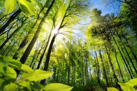 Scenic forest of fresh green deciduous trees framed by leaves, with the sun casting its warm rays through the foliage