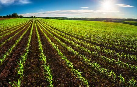 Agriculture shot: rows of young corn plants growing on a vast field with dark fertile soil leading to the horizon Archivio Fotografico