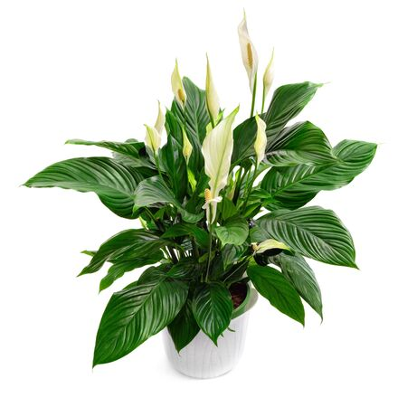Peace lily houseplant, spathiphyllum, a lush nice plant, studio isolated on pure white
