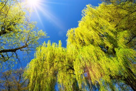 Weeping willow with fresh green foliage illuminated by the beautiful bright sun, with clear deep blue sky, worms eye view