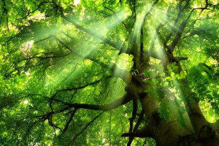 Beautiful rays of light falling through mist and the lush green canopy of a majestic beech tree