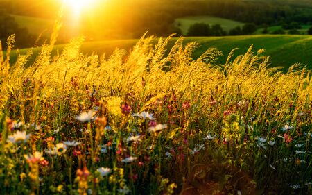 Gold sunset on a flower meadow on hills, with the sun in the background and beautiful backlit luminous high grass Archivio Fotografico