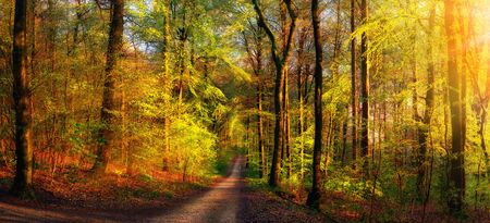 Gold forest scenery with rays of warm light illumining the foliage and a footpath leading into the scene Reklamní fotografie