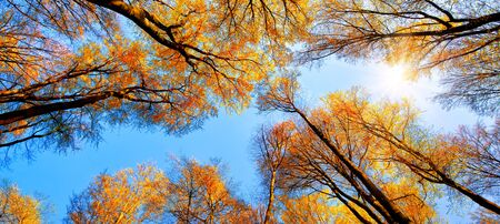 The autumn sun shining through golden treetops, with the beautiful bright sky looking like a blue path in the canopy