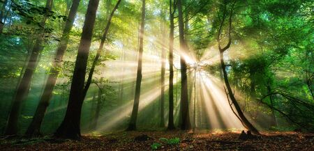 Luminous rays of sunlight shining through the mist and green foliage in a forest clearing, a panoramic landscape