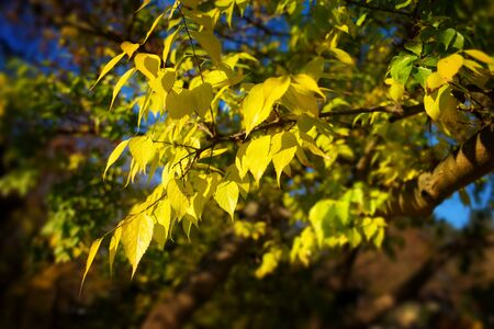 Bright yellow leaves on a branch in a park against dark blurry background, with soft glow effect in the sunlight Reklamní fotografie