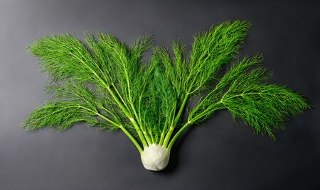 Fresh whole fennel vegetable as it grows, with stems and vibrant green leaves on dark background, studio shot