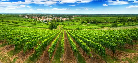 Panoramic green vineyard landscape in Pfalz, Germany, with blue sky and rows of grapevine on a hill, with view into the vast green countryside Reklamní fotografie