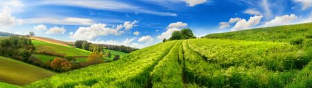 Panoramic rural landscape with idyllic vast green barley fields on hills and trails as lines leading to trees on the horizon, with deep blue sky and fluffy white clouds