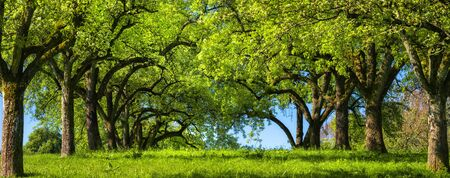 Canopy of rows of trees on a green meadow build a beautiful natural archway, a rural landscape in panoramic format