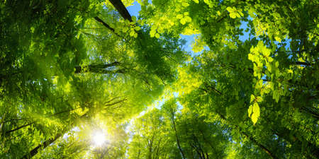 Elevating panoramic upwards view to the canopy in a beech forest with fresh green foliage, sun rays and clear blue sky Reklamní fotografie