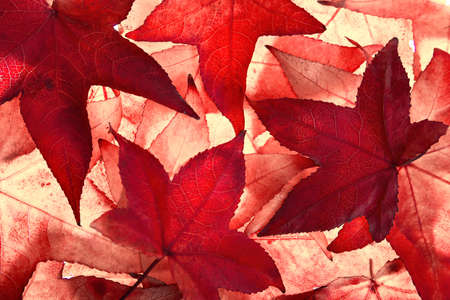 Red maple leaves of autumn filling the frame, illuminated by light from behind in the studio Reklamní fotografie