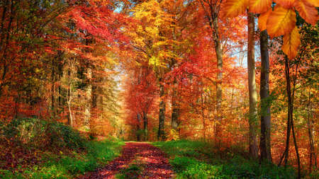 Forest scenery in autumn with enchanting colors and a pathway covered with red leaves and framed by green grass and herbs