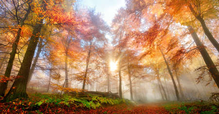 Enchanting rays of the sun fall through wafts of mist in a forest, a gorgeous, dreamy and vibrant autumn scenery