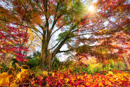 Gorgeous autumn colors in a park, the sun shining through the colorful branches of a tree unto the foliage covered ground Reklamní fotografie