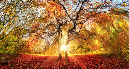 Distinctive tree with stunning autumn colors in a park, with the sun rays beautifully coming through from behind