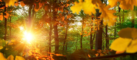 Nature scenery in panorama format: the bright autumn sun illuminating yellow oak leaves in a green forest