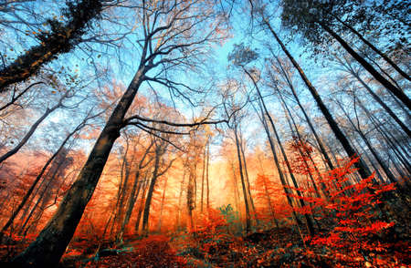 Autumn scenery in a deciduous forest, with bare trees towering into the clear blue sky and a row of illuminated orange foliage beneath