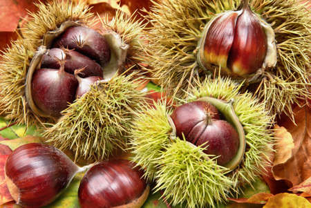 Fresh chestnuts with open husk on dry autumn leaves, studio shot