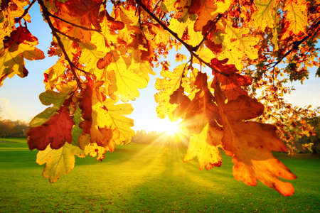 Nature scenery in a park: the setting autumn sun illuminating yellow oak leaves on a green meadow Reklamní fotografie