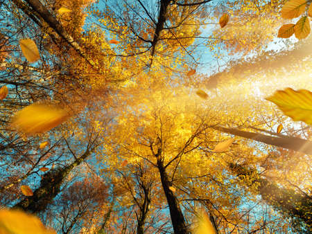 The sun shining through branches of a deciduous tree with yellow foliage in autumn, with blue sky Reklamní fotografie