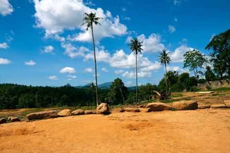 Three palms in Pinnavela, Sri Lanka photo