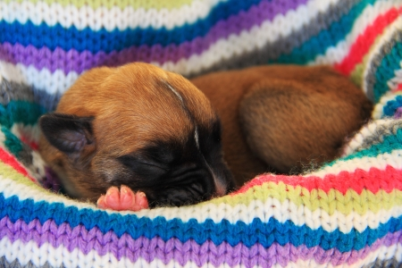 Newborn boxer puppy sleeping in a busket photo