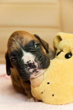 Little boxer puppy photo