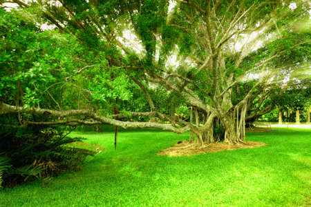 banyan tree: Banyan tree in Miami Botanical Garden Stock Photo