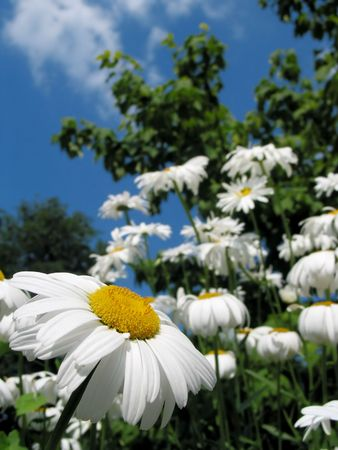 to other side: Close-up of daisies, the one focused looking to the other side